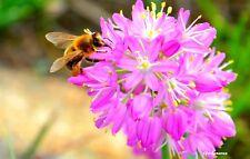 10 Graines  'Allium mongolicum Regel' seeds