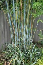 Blue Timber Clumping Bamboo Bambusa- 1 Value Priced Division / Rhizome / Plant