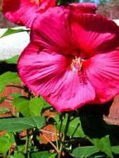 Hardy Hibiscus Seeds - FANTASIA II - Winter Hardy Flowering Perennial - 10 Seeds