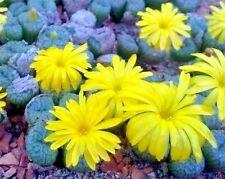 Conophytum ectypum v brownii Eselsfontein  MG1417.62-  seeds 20 pcs
