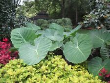 3 LIVE BULBS Colocasia gigantea Thailand Giant Thai Elephant Ear Huge Taro Leaf