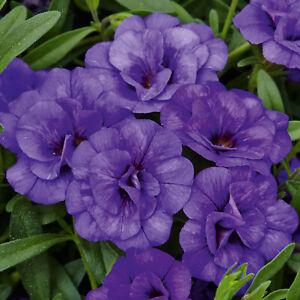 SALE! 30% OFF! Calibrachoa 'Calita Double Blue' XL Plug Plant x 2. Hanging Ba...
