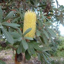 BANKSIA INTEGRIFOLIA.- Coast Banksia - Plants - Stunning Lemon yellow blooms.