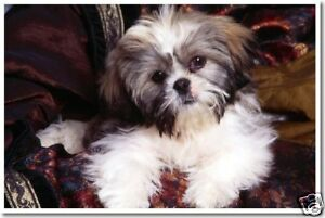 Lhasa Apso Puppy - Cute Animal Pet Dog Print NEW POSTER