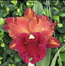 Rlc Hey Song 'Amazing Thailand' 4� Bloom Size (15)