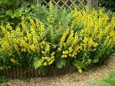2 Sauvages Organiques Norfolk jaune loosestrife systèmes racine, LYSIMACHIA VULGARIS