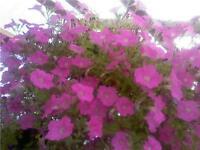 200 Pelleted Super Cascade Pink Petunia Seeds Supercascade BULK SEEDS