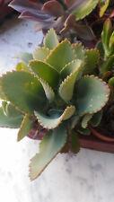 Kalanchoe laetivirens planta en maceta 8'5 cms suculentas crasas