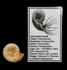 White Ammonite Fossil 35mm+ with Info Card Natural Perisphinctes