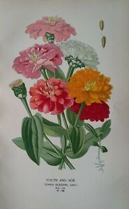 1897 print Youth and Age (Zinnia Elegans). Edward Step. 124 years old.