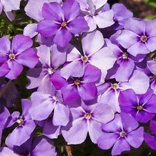 Phlox - Blue Beauty- 100 Seeds--         50 % off sale