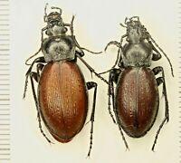 Carabidae Carabus Morphocarabus aeruginosus Russia Siberia Baikal Lake