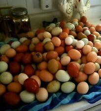 6 Fresh Amp Fertile Chicken Hatching Eggs Assorted Barnyard Mix Rare Breeds