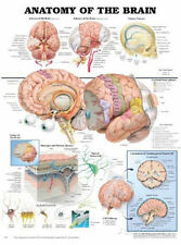 Anatomy of the Brain Anatomical Chart Poster Print Poster Print, 20x26