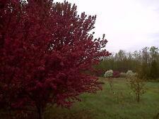 "Magenta Crabapple Tree Malus 6-12"" Lot Of 10"