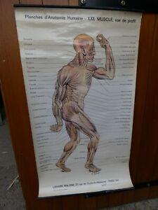 Antiquité Scolaire Planche 22 Anatomique de l'Homme Librairie Maloine Paris 1930