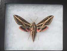 MOUNTED MOTH!  FEMALE BANDED SPHINX MOTH! A-1 ! WOW!