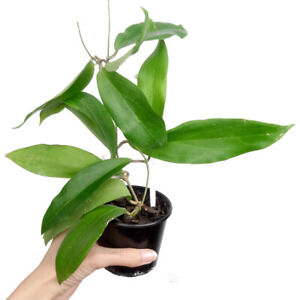 Hoya Fitchii - Yellow Flowers - Indoor Plant Houseplant Wax Plant
