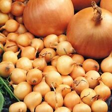 Onion Set ~ Stuttgarter Giant ~ Spring Bulbs~  Hardy Variety ~ 20 Bulbs / Sets