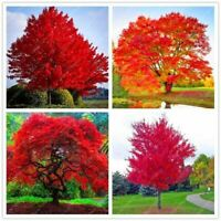 20 seeds american red maple seeds tree seeds maple for home garden planting easy