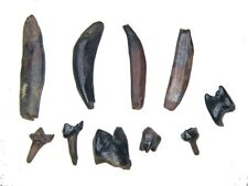 More details for cretaceous hell creek 10 mammal tooth fossils dinosaur bed nr complete teeth #5