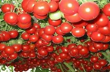 GIANT TREE TOMATO SEEDS HEIRLOOM VEGETABLE SEED 10 SEED PACK