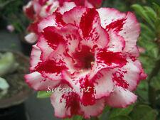 "Rosy Adenium Obesum (Desert Rose) ""Chotratsamee"" grafted plant"