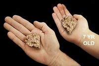 "Pure Copper Nugget 2 1/2"" 4-6 Oz Rock Mineral Specimen Rough Healing Crystal"