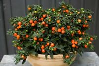Solanum False peppery Seeds 0,2g Паслен Ложноперечный Gardener's dream
