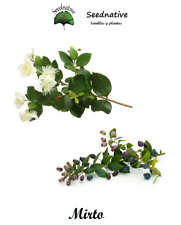 Mirto - Myrtus communis - 100 semillas - Seeds