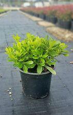 Pittosporum Tobira Nanum - Pitosforo Nano vaso 18 (OFFERTA 4 piante)