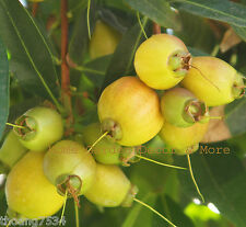 ROSE APPLE Syzygium Jambos Tropical Fruit Live Seedling Rooted Plant Tree RARE