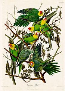 Carolina Parrot by John Audubon A2+ High Quality Art Print