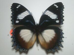 Real Insect/Butterfly/Moth Set Spread B7815 Rare Large Hypolimnas dexithea