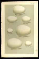 SEEBOHM Antique BIRDS EGGS print 1896 Chromolithograph  PETRELS SHEARWATER  S20