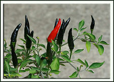 (50 ) Hot Black Cobra Peppers,Chili seeds .Rare seeds .