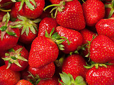 Strawberry Patch Soap / Candle Making Fragrance Oil 1-16 Ounce *Free Shipping*