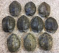 10 Real Turtle Shells - 7 - 8 inch Long - Map Turtle - Carapace Taxidermy