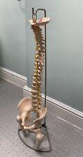 More details for spine - full size model on stand + individual vertebrae