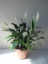 Big Peace Lily Live Plant Bouquet in a Six Inch Pot with Easy Care Guide and Org