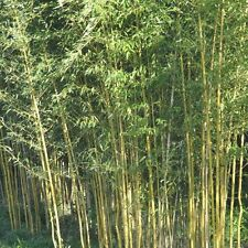 50+ Yellow bamboo seeds Phyllostachys Aureosulcata USA seller Gold Bamboo