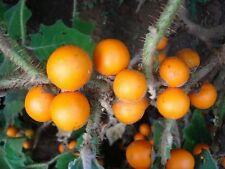 Cocona - SOLANUM SESSILIFLORUM - 15 Semillas - Fruta Jardín - Garden Fruit Samen
