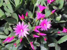 Magenta Pink Rhipsalidopsis Easter Christmas Cactus Plant Cutting, Schlumbergera