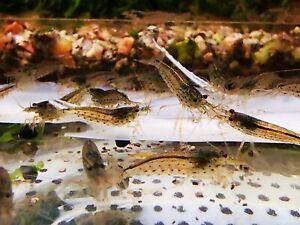 10 X AMANO easy AQUARIUM SHRIMP Perfect  algae  eaters Size approx 1,5 - 2,0 CM
