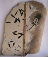 "Huge 20"" Fossil Fish Stingray Heliobatis Green River Formation Wyoming"