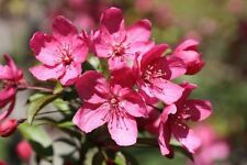 (5) Prairie Fire Crab Apple - Malus prairifire - Crabapple Tree Seeds - Comb S&H