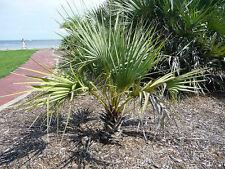 Medemia Argun-el Nubian Palma grandes semillas frescas