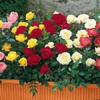 ROSE BUSH AND CLIMBING PICK N MIX ROSES BAREROOT QUALITY PLANTS, SCENTED FLOWERS