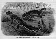 BERGMOLCH Alpenmolch Ichthyosaura alpestris SCHWANZLURCH Holzstich 1891