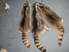 RACCOON HIDES, TANNED, small animals, taxidermy, antlers